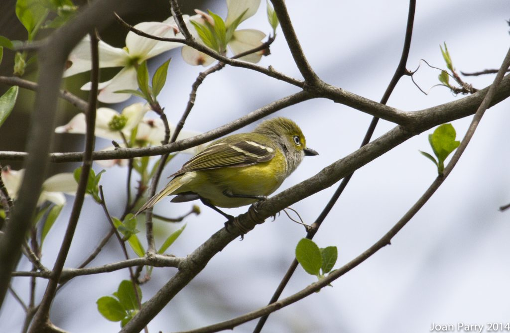 white-eyed vireo in dogwood by Joan Parry