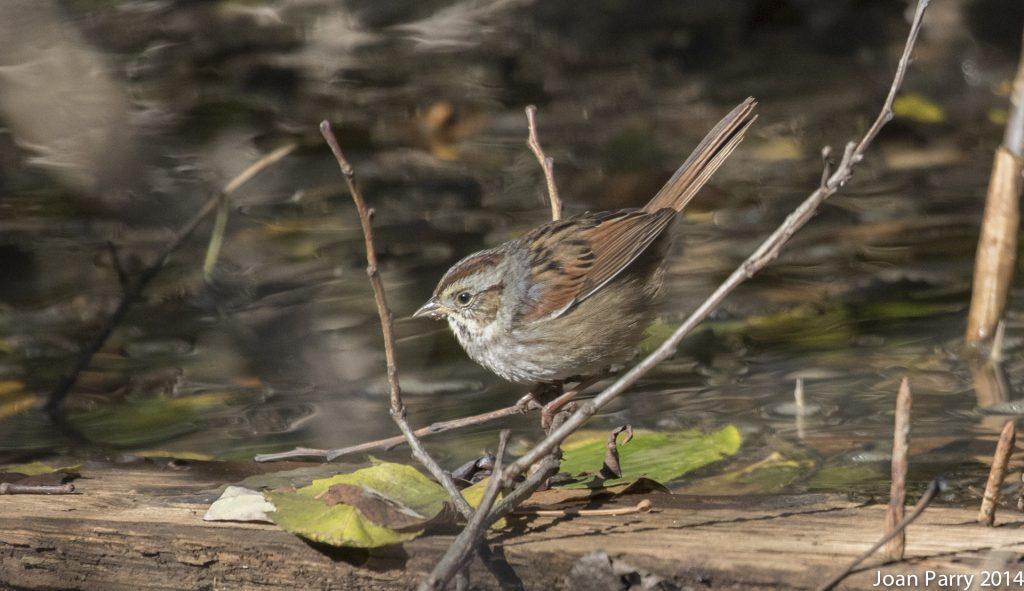 863-swamp-sparrow