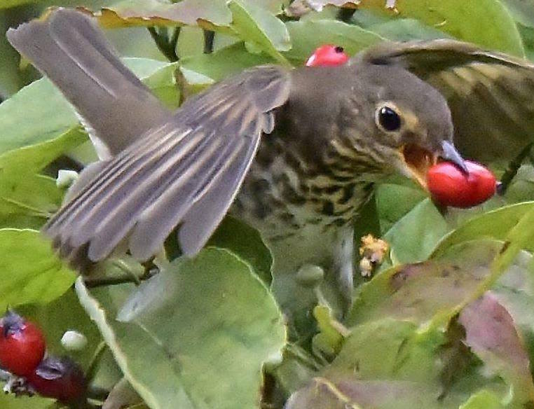 photo by Carol Tuskey, thrush eating dogwood berry